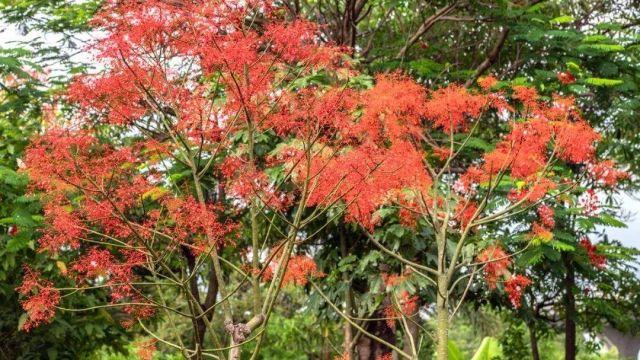 澳洲火焰木图片_实用的植物信息网站_专业的花卉植物图片网站 - 植物吧